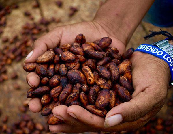 cacao dans des mais de producteurs