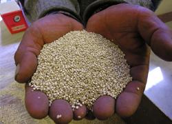 Anapqui-graines-quinoa