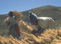 Récolte du quinoa Artisans du Monde